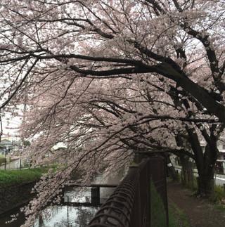 Cherry_blossom1_5